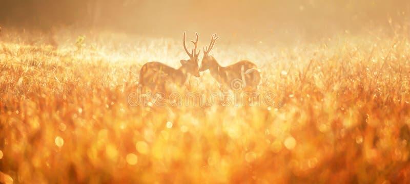Due maschi intasano i cervi che combattono nel campo nebbioso fotografie stock libere da diritti