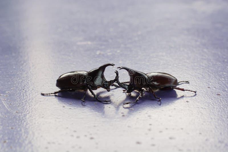 Due maschi o scarabei rinoceronti fotografia stock libera da diritti
