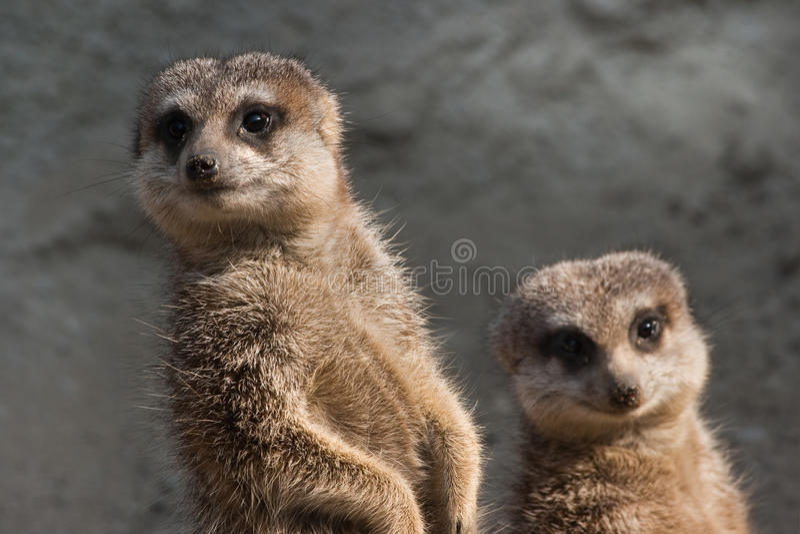 Due meerkats fotografia stock libera da diritti