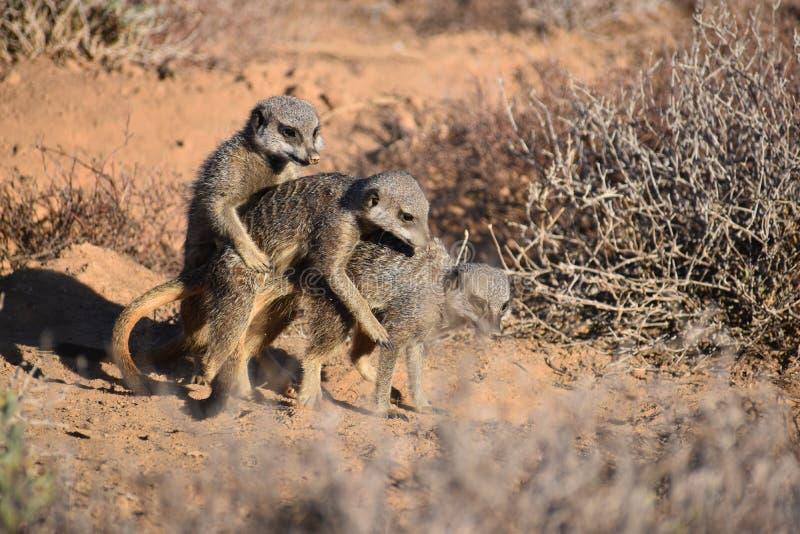 Due meerkats di gioco svegli nel deserto di Oudtshoorn, Sudafrica fotografie stock libere da diritti