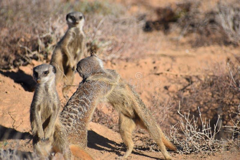 Due meerkats di gioco svegli nel deserto di Oudtshoorn, Sudafrica immagini stock libere da diritti