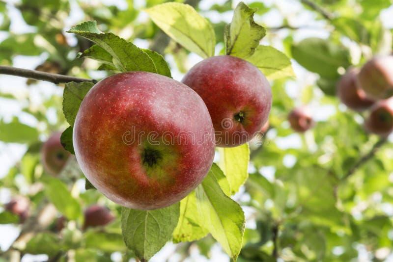 Due mele rosse naturali su un fondo di fogliame verde, parte di di melo si sono accese da luce solare, fondo della natura fotografia stock libera da diritti