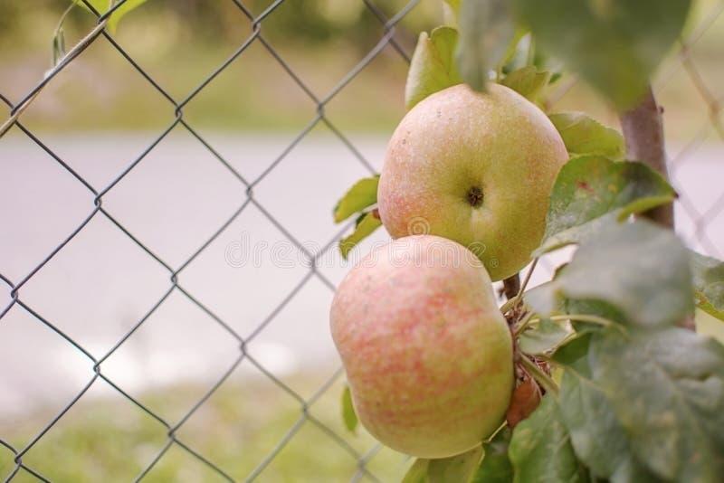 Due mele rosse sull'albero fotografie stock libere da diritti