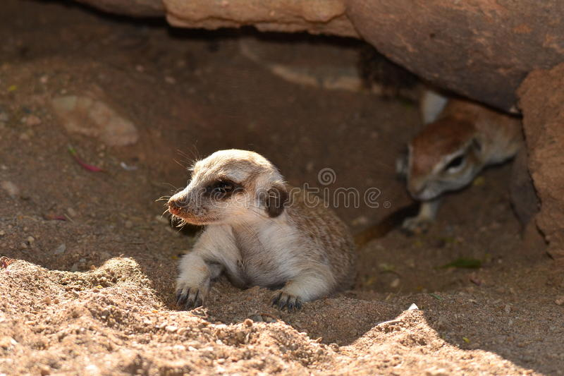 Due mesi del suricate in burrow con sqirrel fotografia stock