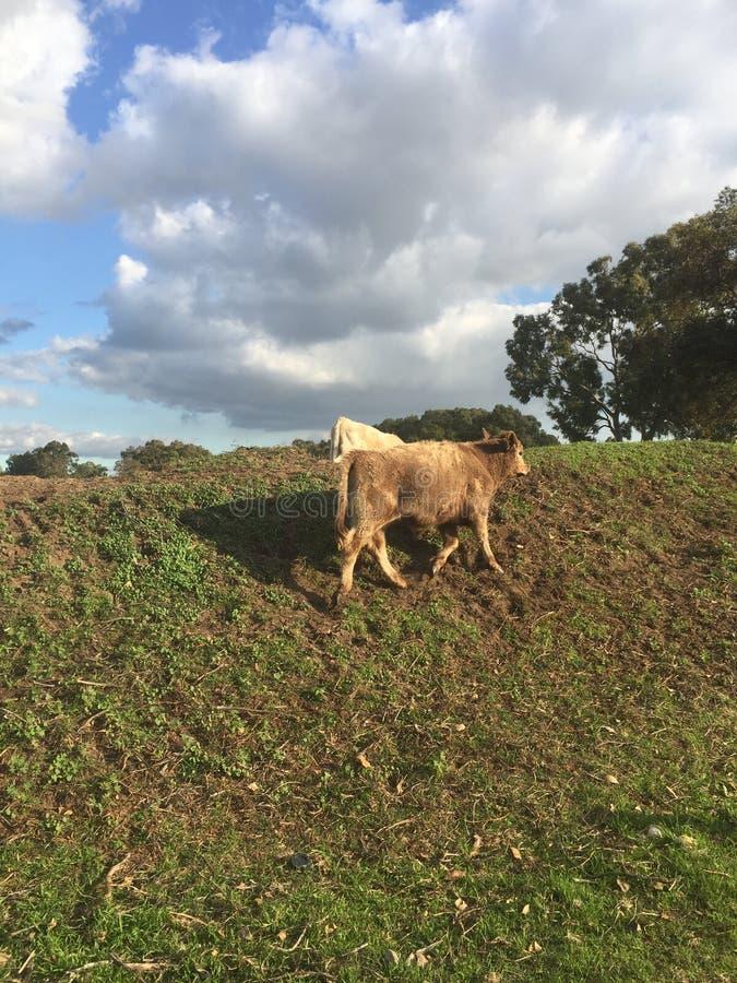 Due mucche che pascono sull'erba un giorno di inverni immagini stock