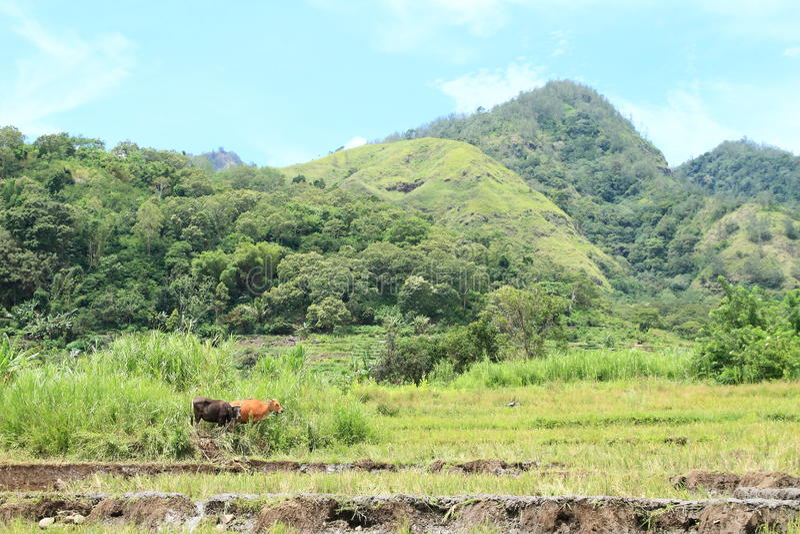 Due mucche dai campi di padi del riso fotografia stock libera da diritti