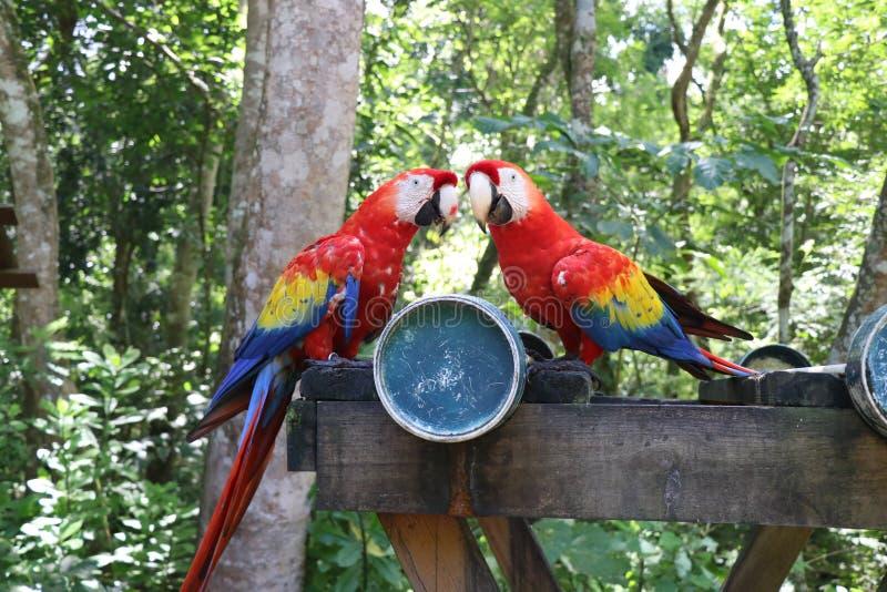 Due are nell'Honduras fotografia stock libera da diritti