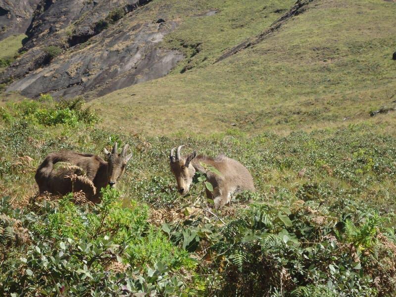 Due Nilgiri Tahrs che gioca nella stazione della collina fotografia stock libera da diritti