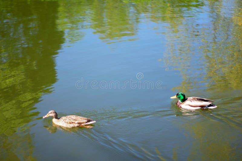 Due nuotate delle anatre di Mallard dell'uccello in lago o in fiume il parco della città Giorno di estate o della primavera fotografia stock