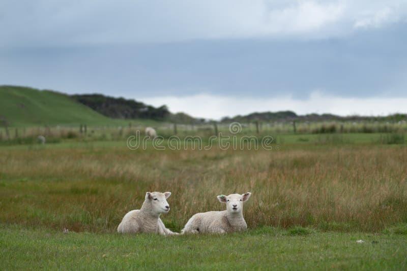 Due nuovi agnelli sull'azienda agricola fotografia stock libera da diritti