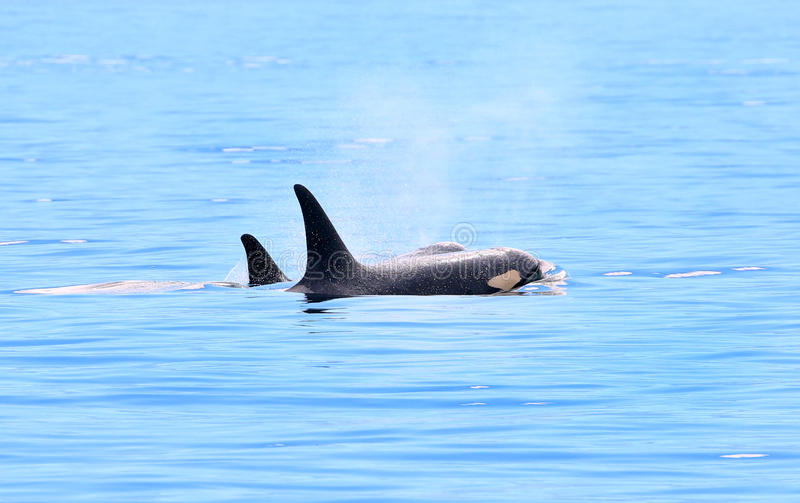 Due orche dell'orca che soffiano e che nuotano nell'oceano, Victoria, Canada fotografia stock