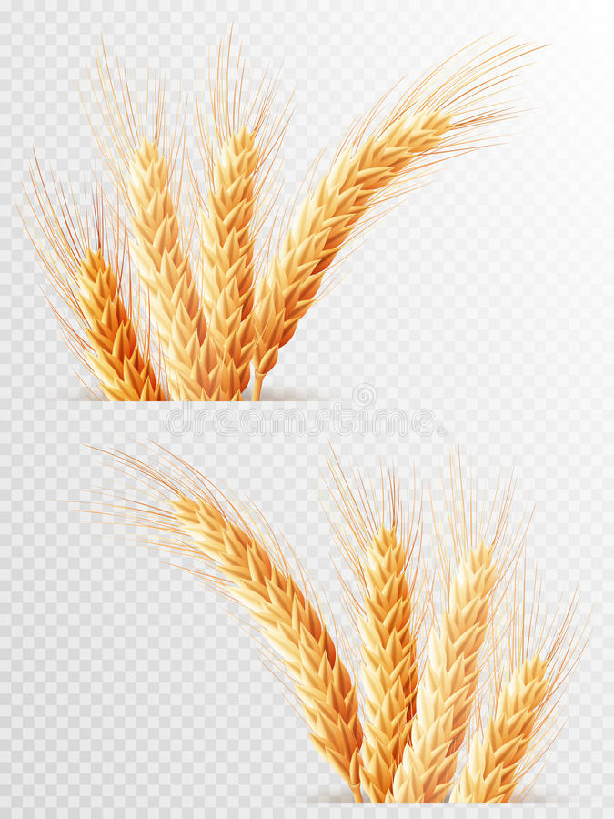 Due orecchie del grano isolate ENV 10 illustrazione vettoriale