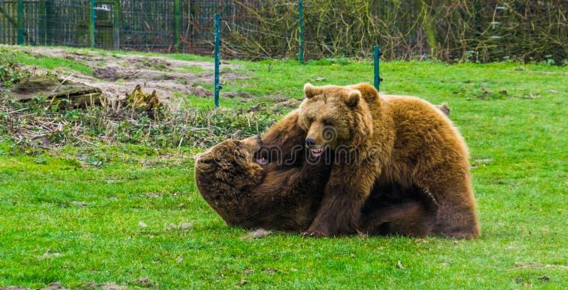 Due orsi bruni che combattono a vicenda, comportamento animale aggressivo, uno che mette sulla terra l'altro sugli animali superi fotografie stock