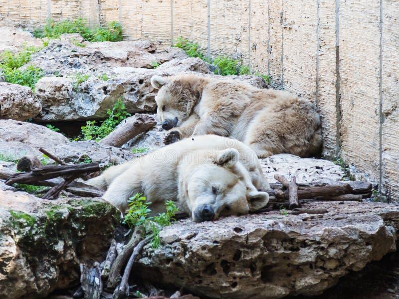 Due orsi polari si trovano nella tonalità sulle rocce un giorno soleggiato e un resto fotografie stock libere da diritti