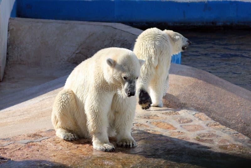 Due orsi polari in un giardino zoologico fotografia stock libera da diritti