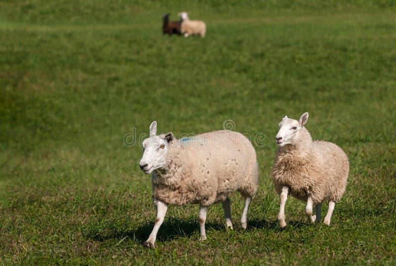 Due ovis aries in priorità alta - due delle pecore nel fondo fotografia stock