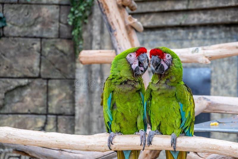 Due pappagalli Ara Militaris che si appollaia su un ramo immagini stock