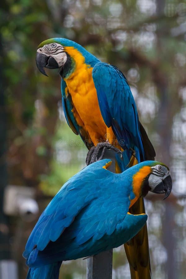 Due pappagalli dell'ara dell'blu-e-oro nel parco sull'isola di Sentosa fotografia stock