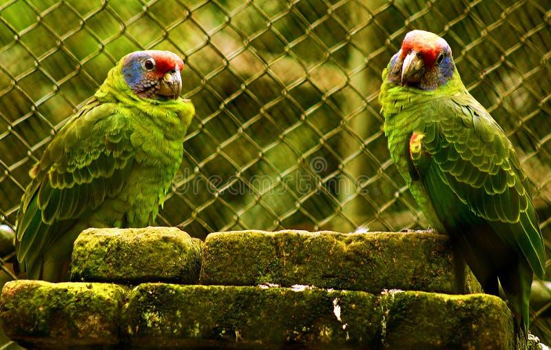 Due pappagalli insieme fotografia stock libera da diritti