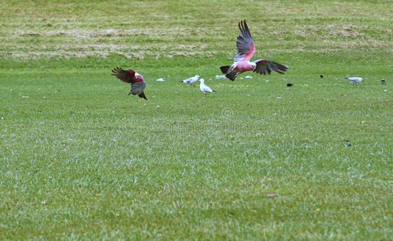 Due pappagalli su erba verde fotografie stock libere da diritti