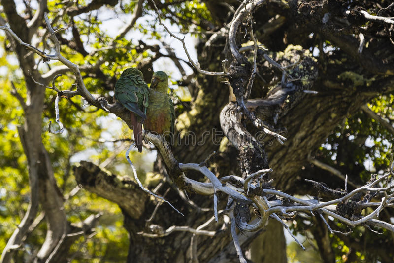 Due pappagalli in un albero fotografie stock