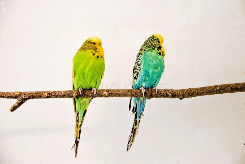 Due pappagallini ondulati che si siedono sul ramoscello immagini stock