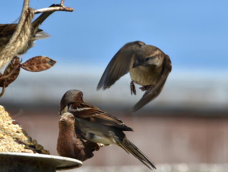 Due passeri che combattono ad un alimentatore dell'uccello fotografia stock libera da diritti