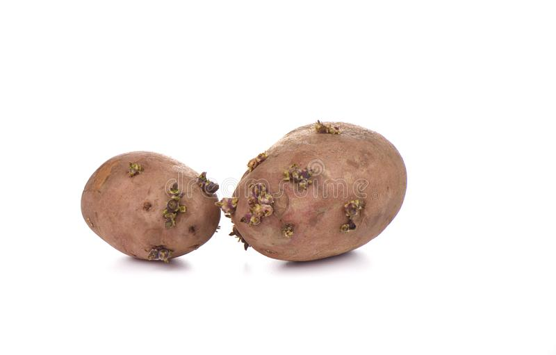 Due patate germogliate isolate su fondo bianco fotografia stock