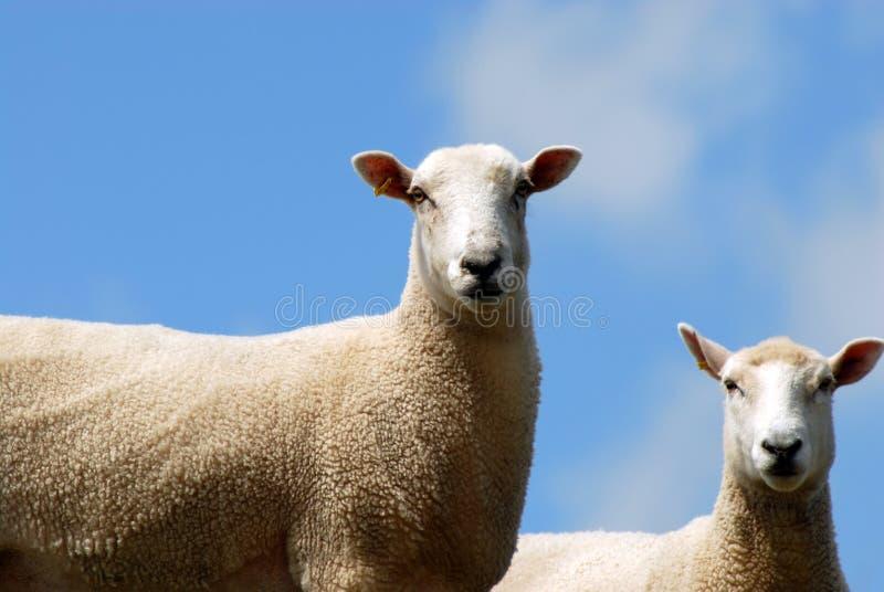 Due pecore immagine stock
