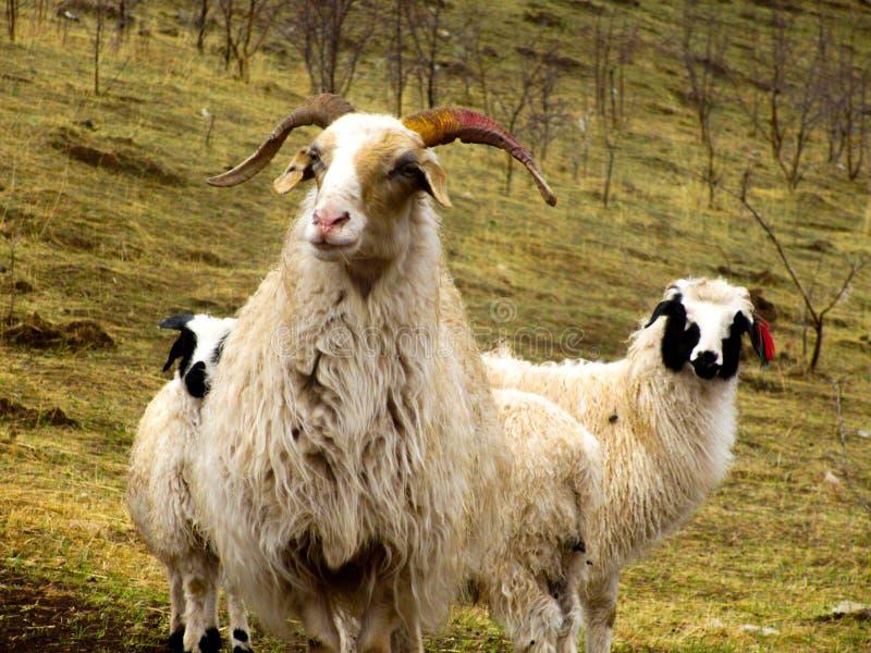 Due pecore bianche che stanno nella valle di autunno fotografia stock libera da diritti