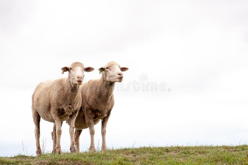 Due pecore con il cielo nuvoloso bianco dietro loro fotografia stock