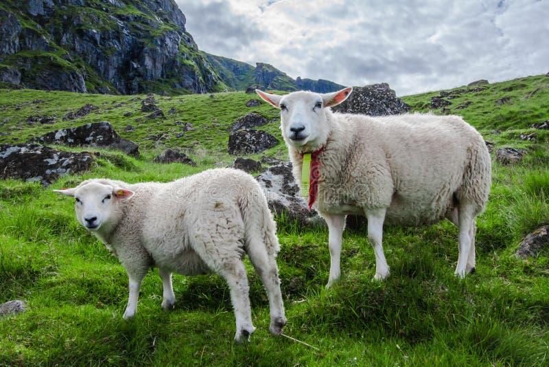 Due pecore fissano alla macchina fotografica sull'isola di Lofoton in Norvegia fotografie stock