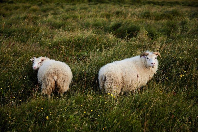 Due pecore islandesi immagine stock