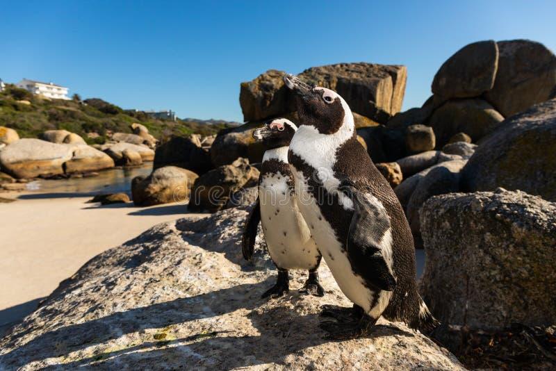 Due peguins ai massi tirano Simonstown in secco immagini stock libere da diritti
