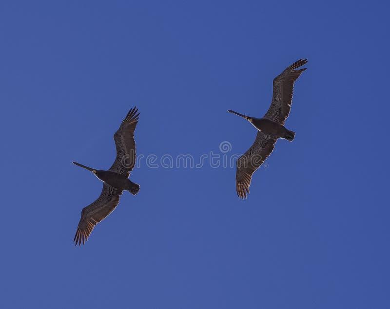 Due pellicani di Brown che scivolano nell'unisono con un fondo di cielo blu profondo fotografie stock libere da diritti