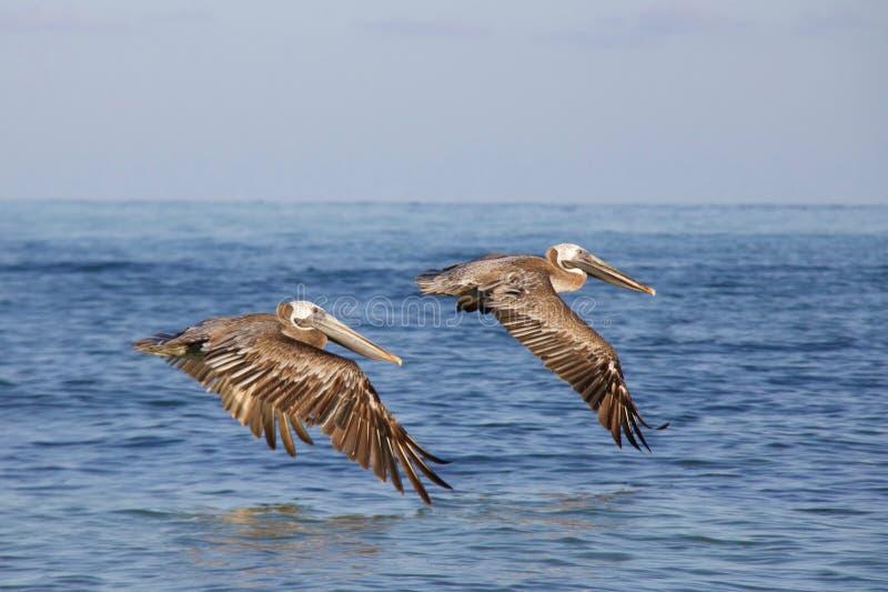 Due pellicani di Brown che volano insieme fotografie stock libere da diritti