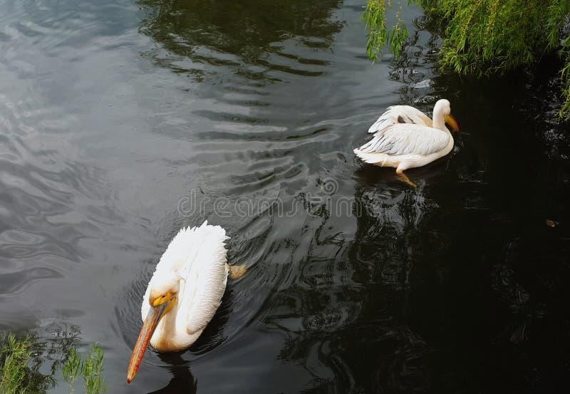 Due pellicani litigano e nuotano alle direzioni avversarie fotografia stock libera da diritti