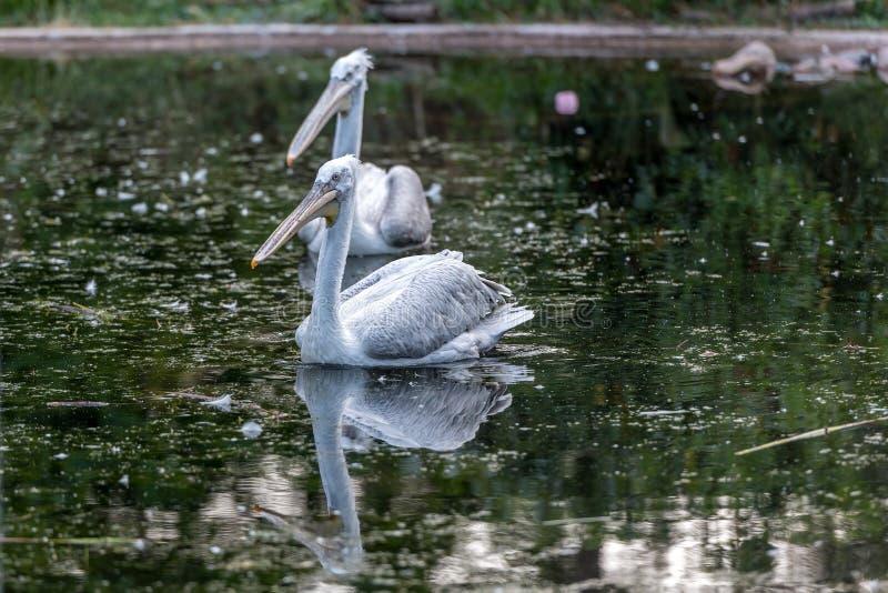 Due pellicani nuotano nel lago immagini stock