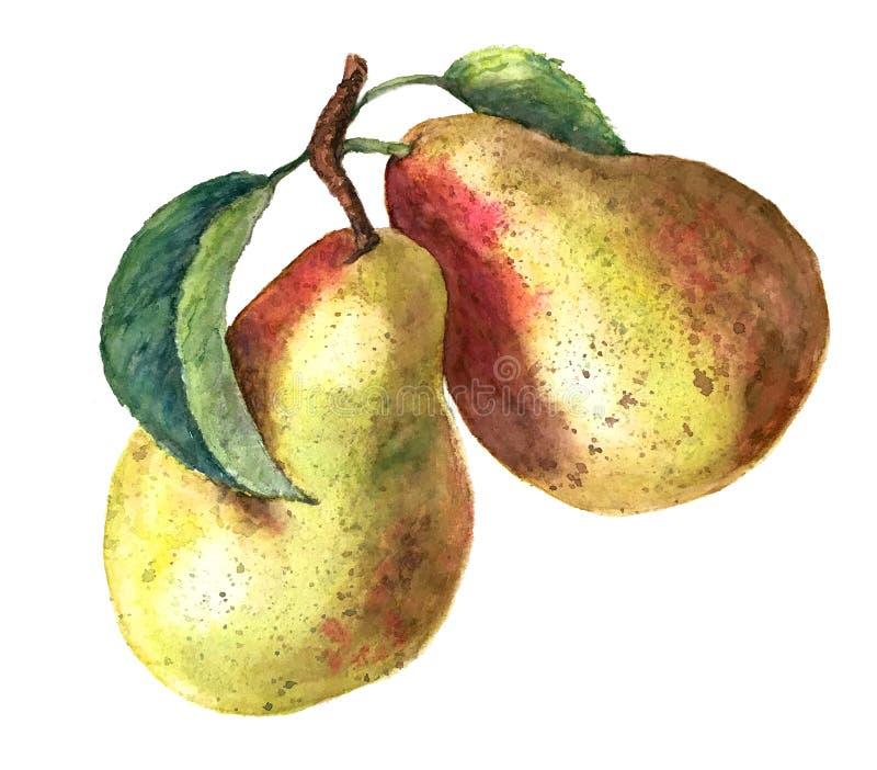 Due pere gialle con le foglie verdi isolate su un fondo bianco fotografie stock libere da diritti
