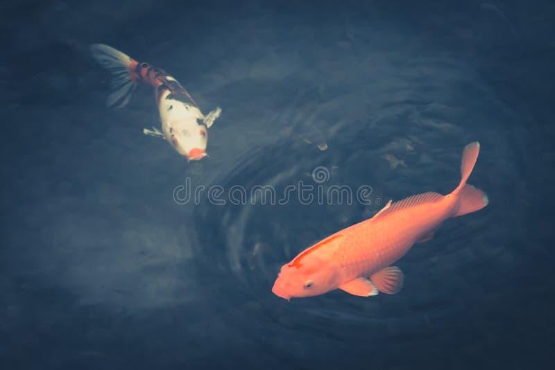 Due pesci - carpa a specchi variopinta in acqua dar immagine stock