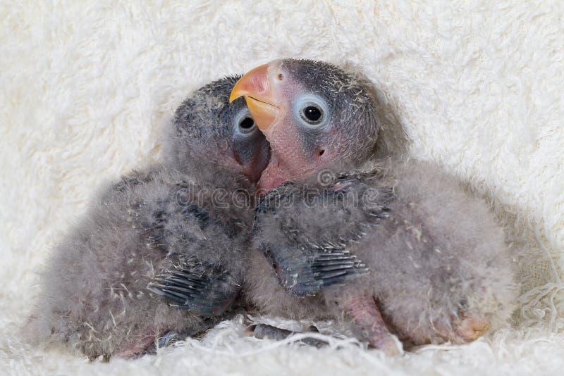 Due piccioncini del bambino sul fondo bianco del panno fotografia stock