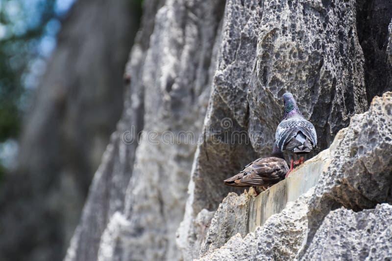 Due piccioni grigi sulle montagne del calcare, piccione di amore, fauna selvatica naturale, stagione riproduttiva immagine stock libera da diritti