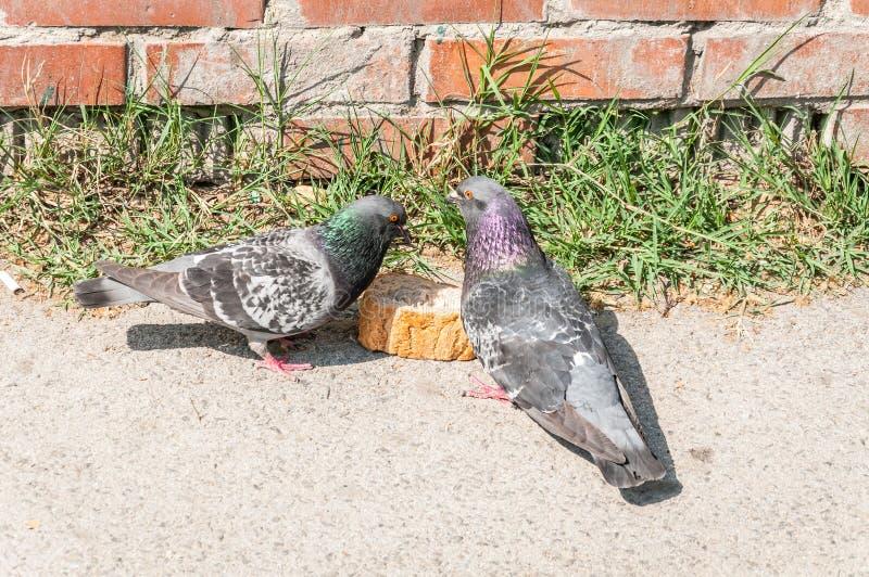 Due piccioni o colombe che mangiano fetta di pane sulla via fotografia stock