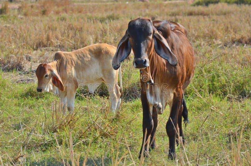 Due piccole mucche nel campo di erba fotografie stock libere da diritti