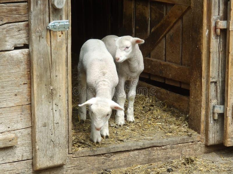 Due piccoli agnelli che restano nella porta in azienda agricola e che aspettano la loro f fotografia stock libera da diritti