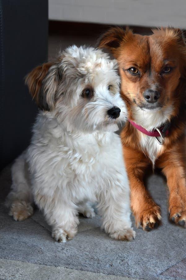 Due piccoli amici del cucciolo di cane fotografia stock