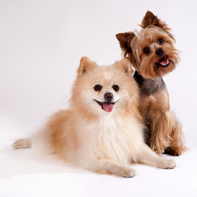 Due piccoli cani su un fondo bianco. Yorkshire terrier e sputo immagini stock