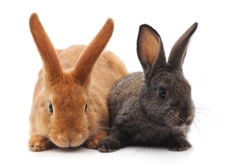 Due piccoli conigli fotografie stock libere da diritti