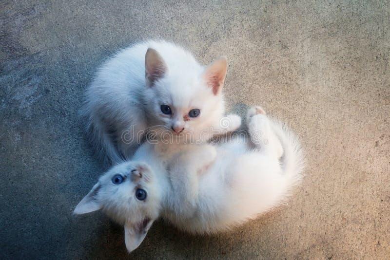 Due piccoli gatti bianchi fotografia stock