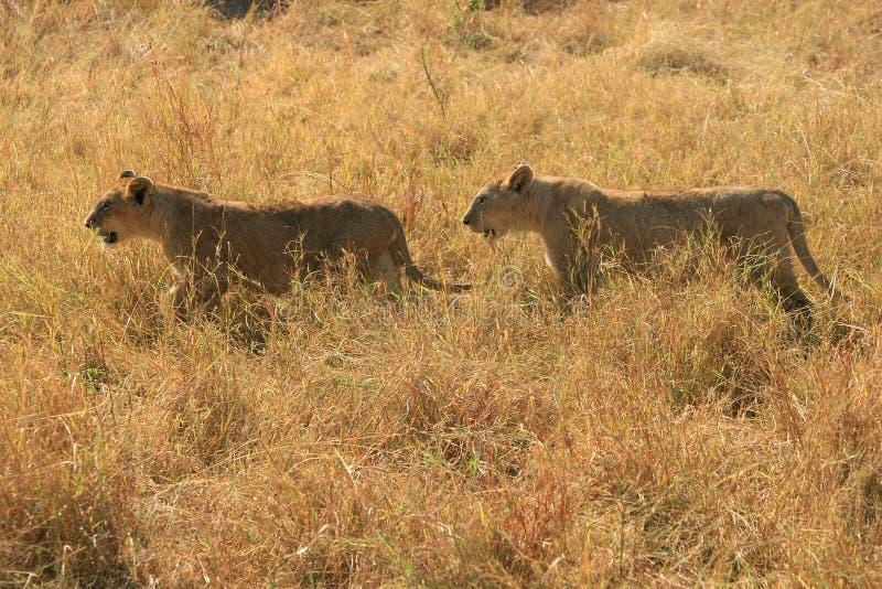 Due piccoli leoni svegli del Masai Mara nel Kenia immagine stock